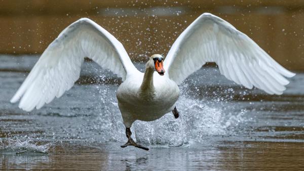 Ein Schwan startet auf einem See | Rechte: imago