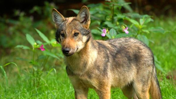 Ein Wolf steht auf einer Wiese im Wald | Rechte: imago