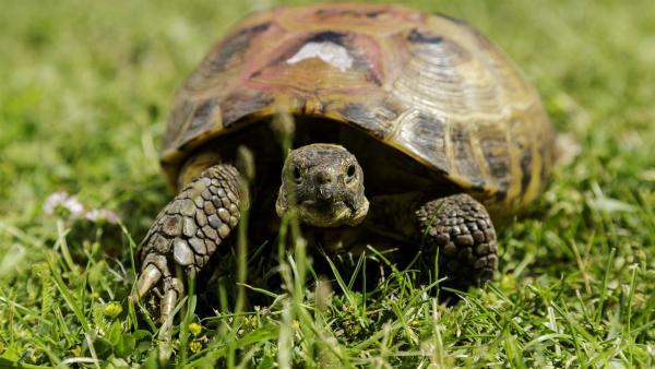 Bertha, die Schildkröte, ist unterwegs im Garten von Nachbar Paschulke | Rechte: ZDF/Antje Dittmann