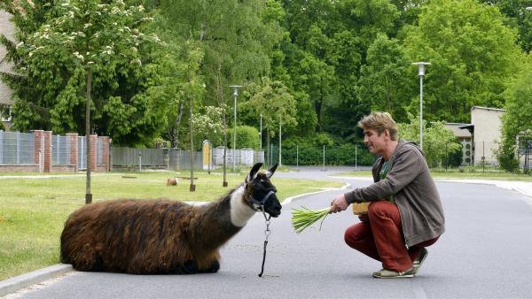 Fritz Fuchs (Guido Hammesfahr) muss das scheue Lama irgendwie von der Straße locken - das fühlt sich dort anscheinend wohl. | Rechte: ZDF/Antje Dittmann