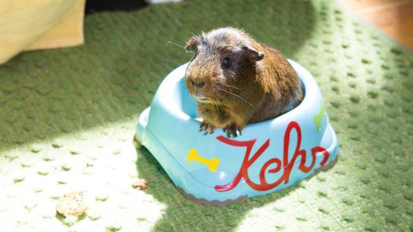 Meerschweinchen Ira fühlt sich bei Fritz und Keks offenbar sehr wohl. | Rechte: ZDF/Zia Ziarno
