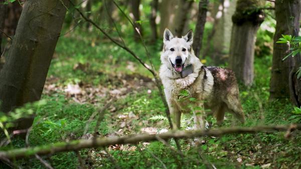 Ein Wolf! - im Bärstadter Wald nahe dem Bauwagen. | Rechte: ZDF/Antje Dittmann