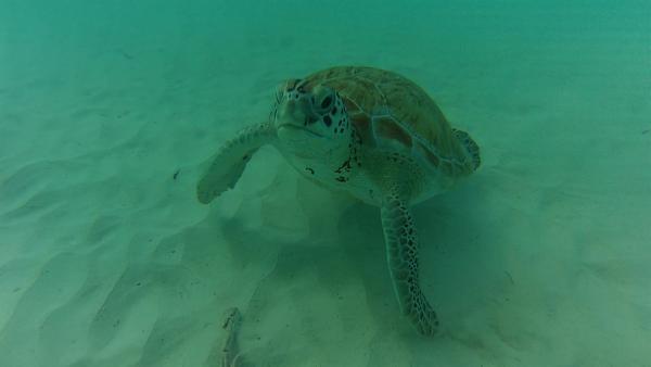 Eine Meeresschildkröte | Rechte: SWR/Tonix Pictures GmbH