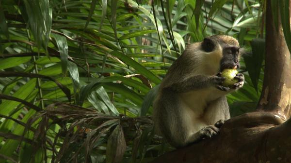 Auf Barbados leben Affen im Dschungel, wie bei uns die Füchse. | Rechte: SWR/Tonix Pictures GmbH