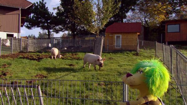 OLI hat den Schweinen ein schönes, großes Außengehege gebaut. | Rechte: SWR