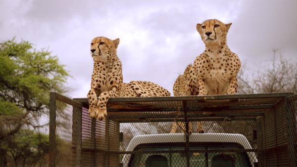 Die Geparden müssen zum Zahnarzt gefahren werden. Aber sie sollen eigentlich in das Auto und nicht oben drauf! | Rechte: SWR/Eikon Media GmbH/Steffen Bohnert