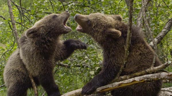 Bärengeschwister: Bärenärger | Bild: TEXT + BILD Medienproduktion | Rechte: TEXT + BILD Medienproduktion