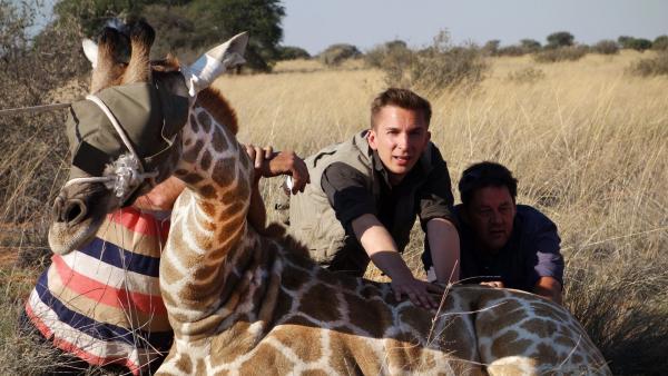 Eric Mayer ist in Namibia, um in aufwändigen und lebensgefährlichen Aktionen Giraffen umzusiedeln. Denn der Mensch hat den Lebensraum der Giraffen in Afrika zerstört. Jetzt muss er den Giraffen helfen, damit sie überleben. | Rechte: ZDF/Simone Grabs