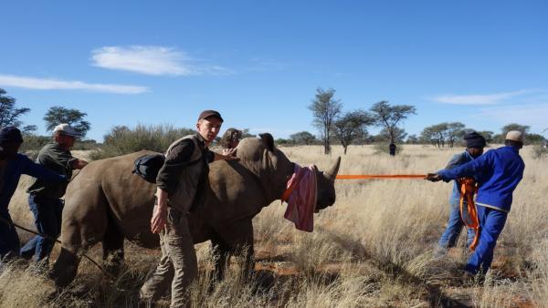 """Die Nashörner in Afrika sind vom Aussterben bedroht. Um sie zu retten, werden sie in gefährlichen und aufwändigen Aktionen umgesiedelt. """"pur+""""-Moderator Eric Mayer darf bei einem Nashornumzug helfen.   Rechte: ZDF/Simone Grabs"""