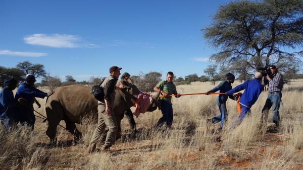 """Nashörner sind in Afrika vom Aussterben bedroht. Wilderer töten die Tiere, um ihnen ihr Horn abzuschneiden und es in Asien für viel Geld zu verkaufen. Um sie davor zu schützen, werden die Tiere in aufwändigen und gefährlichen Aktionen in neue Gebiete gebracht. """"pur+""""-Moderator Eric Mayer und sein Filmteam sind bei einem solchen Umzug dabei.   Rechte: ZDF/Simone Grabs"""