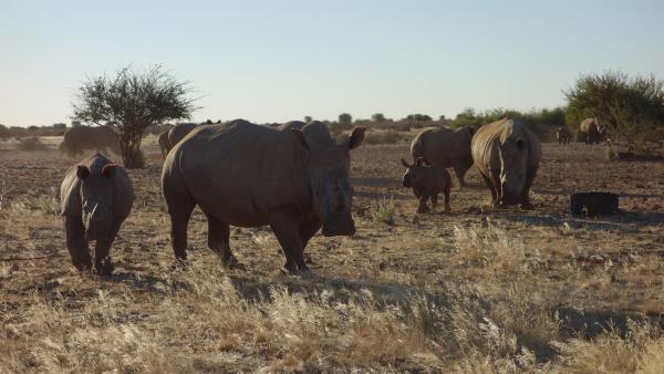 """Nashörner sind vom Aussterben bedroht. Wilderer töten sie und verkaufen ihr Horn für viel Geld nach Asien. Tierschützer versuchen die Nashörner in Afrika zu retten. Bei einer solchen Rettungsaktion ist """"pur+"""" mit dabei.   Rechte: ZDF/Simone Grabs"""