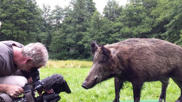 """""""pur+"""" macht Wildtiere hautnah erlebbar! Und damit das klappt, muss sich auch Kameramann Michael Garrett so nah wie möglich an das Wildschwein ran trauen. Auge in Auge mit der Gefahr!   Rechte: ZDF/Susanne Kaupp"""