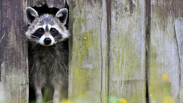 Waschbär schaut aus einem Zaun | Rechte: ZDF
