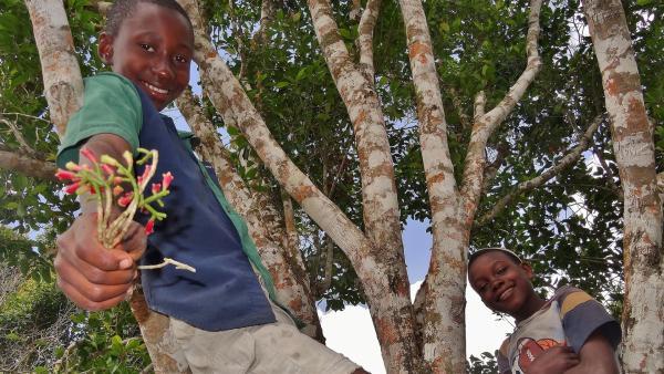Rashidi (l.) und Hamisi dürfen das erste Mal ihre eigenen Nelken ernten. Dazu müssen sie hoch in die Bäume klettern. | Rechte: SWR/Frank Feustle