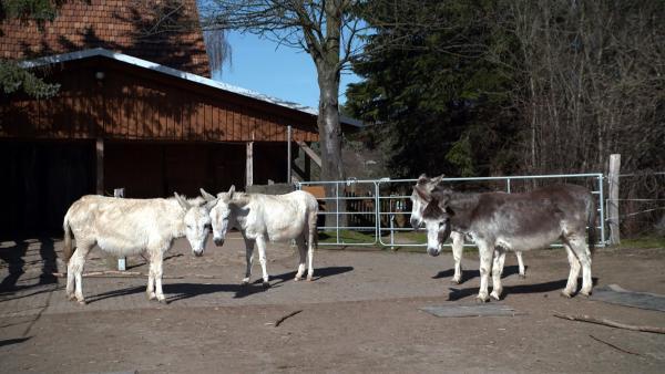 Auf dem Eselhof in Sachsen leben in Not geratene Esel. | Rechte: MDR