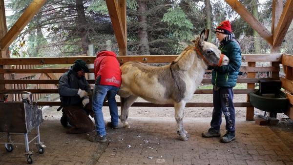 Der Hufschmied behandelt Felix' kranke Hufe. Julian hält und beruhigt ihn. | Rechte: MDR