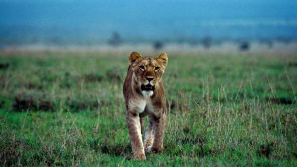 Ein Löwenweibchen auf der Jagd. | Rechte: SWR/ff-Movie tv Film- und Fernsehproduktion