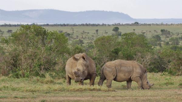 Die vom Aussterben bedrohten Nashörner leben ebenso im Tierreservat. | Rechte: SWR/ff-Movie tv Film- und Fernsehproduktion