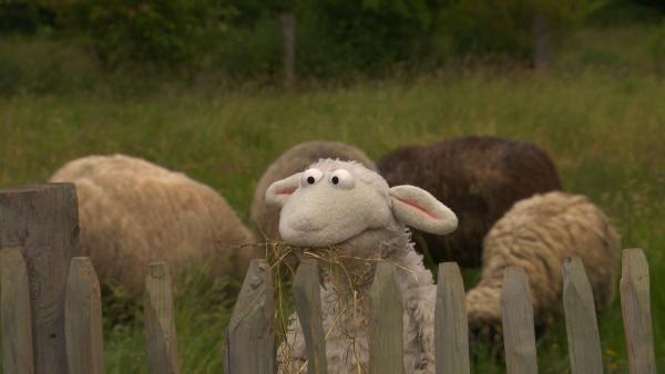 Wolle lebt bei einer Schafherde. | Rechte: NDR/Sesame Workshop