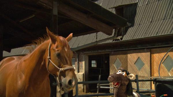 Pferd bildet mit der Stute Hufi eine Herde. | Rechte: NDR/Sesame Workshop