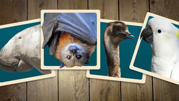 Karten mit australischen Tieren | Rechte: KiKA