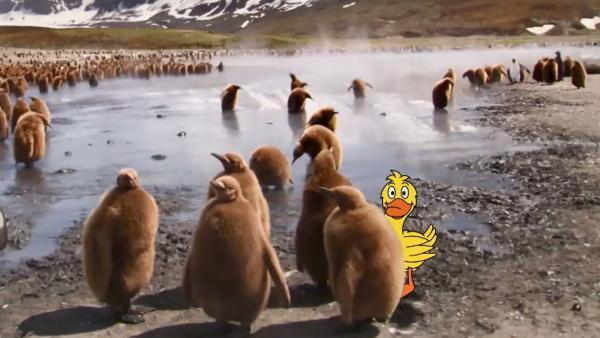 Tierbabys mit der Ente | Rechte: WDR/British Broadcasting Corporation (BBC)