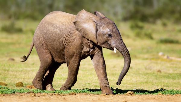Ein Elefantenbaby macht seine ersten Schritte.   Rechte: WDR/BBC/Shutterstock/Mari Swanepoel