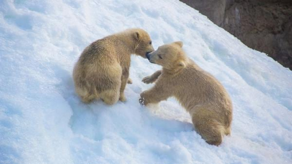 Eisbärbabys toben im arktischen Schnee.   Rechte: WDR/BBC/Shutterstock/Kireeva Veronika