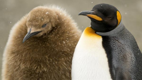 Dem kleinen Königspinguin ist kalt. | Rechte: WDR/BBC/Shutterstock/Rich Lindie