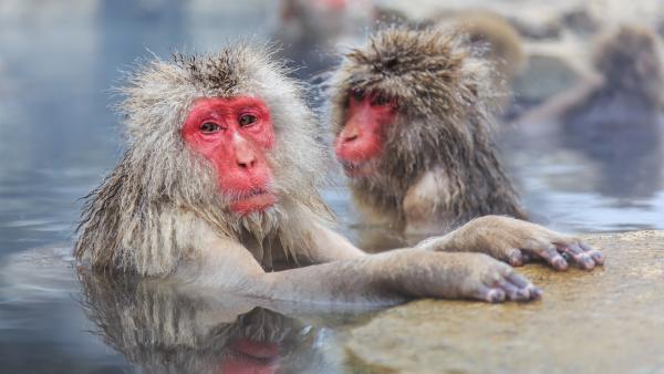 Auch Makaken lieben ein heißes Bad. | Rechte: WDR/BBC/Shutterstock/Sorin Colac