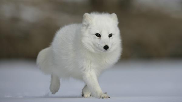 Der Polarfuchs sucht sein Futter in tiefem Schnee.   Rechte: WDR/BBC/Shutterstock/Erni