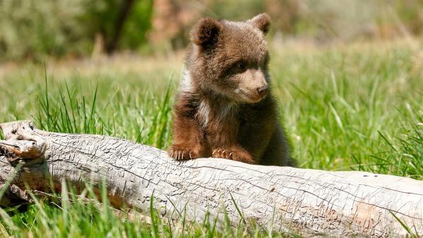 Auch kleine Grizzlys sind große Jäger und Fischer.   Rechte: WDR/BBC/Shutterstock/Don Mammoser