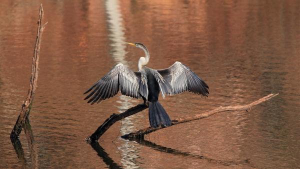 So große Flügel hat nur ein orientalischer Darter.   Rechte: WDR/BBC/Shutterstock/Andaman