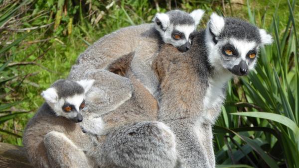 Kleine Kattas reisen am liebsten per Huckepack auf Mamas Rücken.   Rechte: WDR/BBC/Ben Southwell