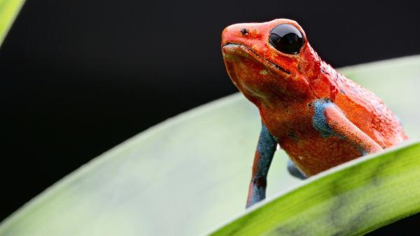 Auch wenn sie hübsch aussehen - Erdbeerfröschen kommt man besser nicht zu nahe, sie sind giftig.   Rechte: WDR/BBC/Shutterstock/Dirk Ercken