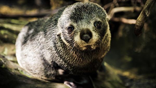 Kleine Robben schwimmen für ihr Leben gern.   Rechte: WDR/BBC/Shutterstock/Shaun Jeffers