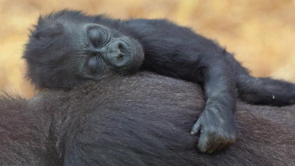 Am liebsten schläft ein Babygorilla auf Mamas Rücken. | Rechte: WDR/BBC/Shutterstock/Rob Francis
