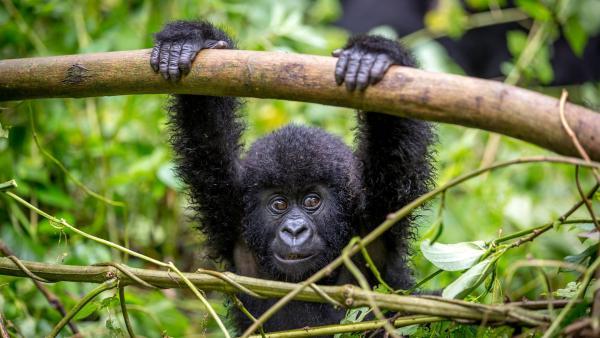 Gorillakinder spielen genauso gern wie Menschenkinder. | Rechte: WDR/BBC/Shutterstock/LMspencer
