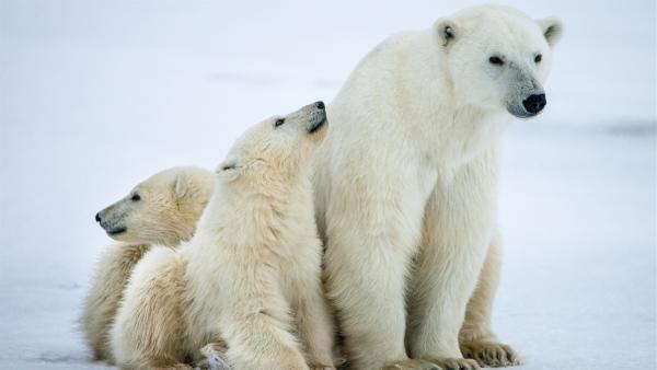 Die beiden Polarbärenkinder bleiben ganz nah bei ihrer Mutter.   Rechte: WDR/BBC/Shutterstock/Sergey Uryadnikov
