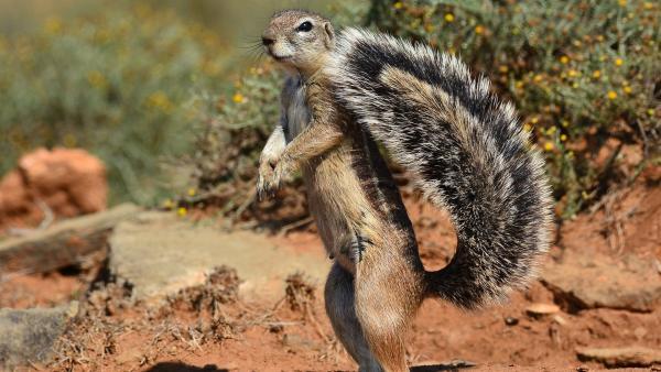 Ein Erdhörnchen ist immer wachsam. | Rechte: WDR/BBC/Shutterstock/Michael Evan Potter