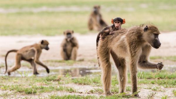 Pavianbabys lassen sich gern tragen. | Rechte: WDR/BBC/Shutterstock/Bobby Bradley