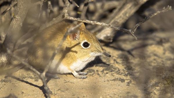 Der Rüsselspringer ist eines der schnellsten Kleinsäugetiere der Welt.   Rechte: WDR/BBC/Shutterstock/Andrew M. Allport