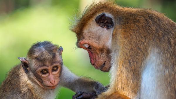 Der Baby-Makake lernt schnell, auf sich aufmerksam zu machen. | Rechte: WDR/BBC/Shutterstock/Nicram Sabod