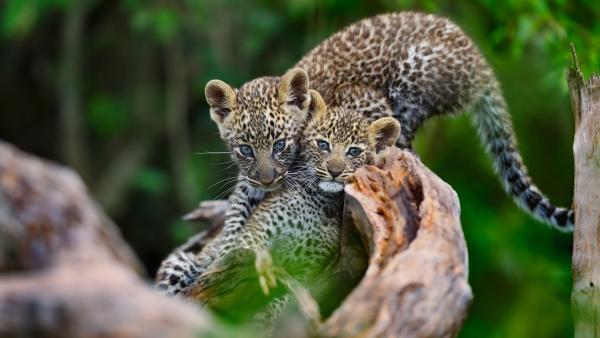 Wer ein großer Leopard werden will, muss auch klettern können. | Rechte: WDR/BBC/Shutterstock/Maggy Meyer
