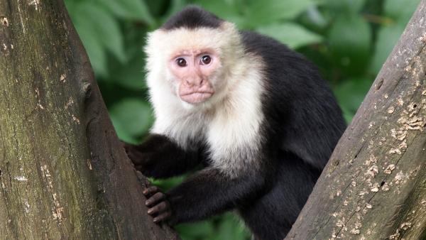 Kapuziner-Affen sind Feinschmecker: Sie können sogar Muscheln öffnen. | Rechte: WDR/BBC/Shutterstock/Edwin Butter
