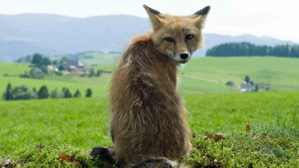 Ein Fuchs macht die Gegend rund um Waldau unsicher. Nelly ist bezaubert von dem Fabeltier. | Rechte: SWR/Maria Wiesler