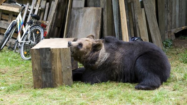 Ein ausgewachsener Bär versetzt Waldau und Umgebung in Schrecken. | Rechte: SWR/Maria Wiesler