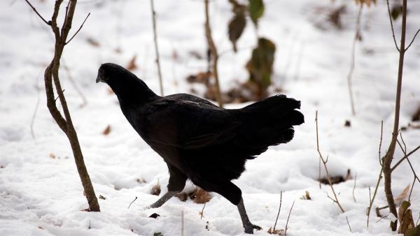 Ein schwarzes  Huhn bringt den Grieshaberhof in Aufruhr.   Rechte: SWR/Maria Wiesler