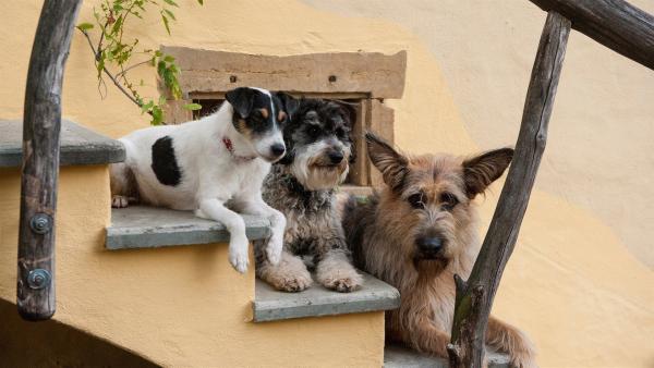 Cookie, Jojo und Brezel, die Hunde des Hauses Hansen/Brüggemann.    Rechte: SWR/Maria Wiesler