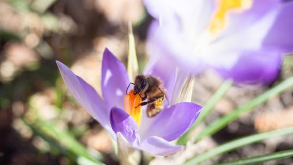 H wie Honigbiene | Mit vollen Pollenhöschen landet die Arbeiterin am Bienenstock<br/>| Bild: BR | Text und Bild Medienproduktion GmbH & Co. KG | Rechte: BR | Text und Bild Medienproduktion GmbH & Co. KG
